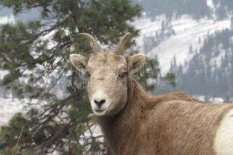 Bighorn Sheep Tracking and Conservation Adventure