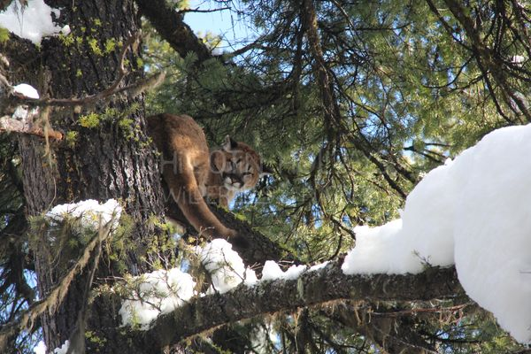 Cougar / Mountain Lion Tracking and Conservation Adventure