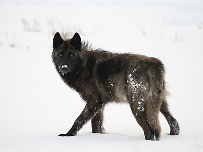 Wolf Tracking Ranch Based