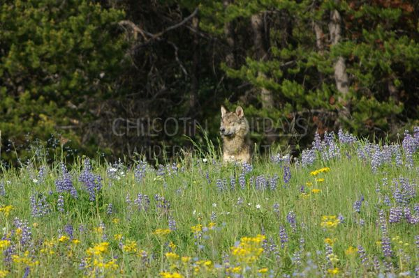 Wolf tracking and conservation adventure