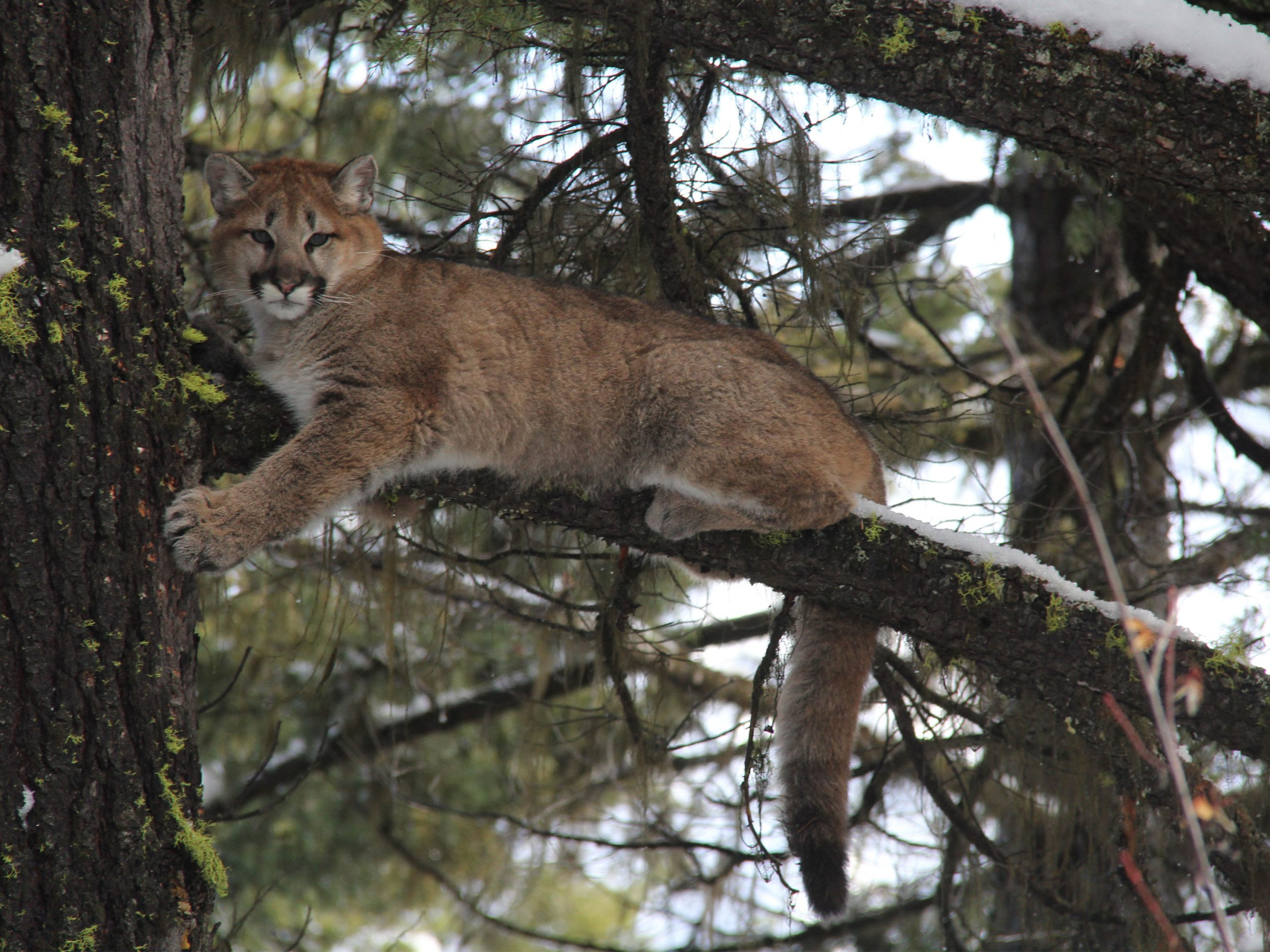 Cougar, Mountain Lion Tracking Ranch Based