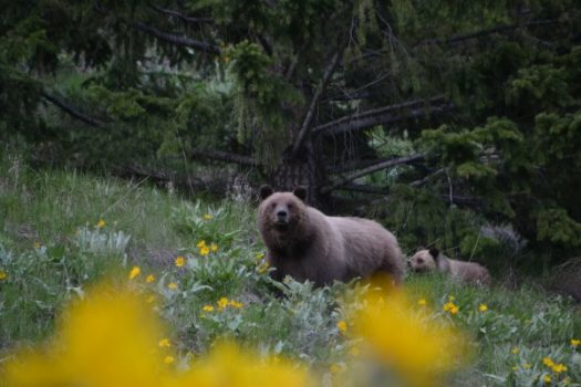 grizzly bear and cups