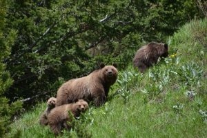 Grizzly and 3 cubs R