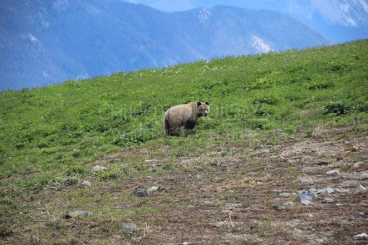 Grizzly and Black bear Tracking and Conservation Horse Pack Trip