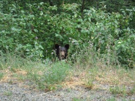 Black Bear Tracking Adventure