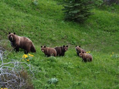 Grizzly & Black Bear Tracking & Conservation Ranch Based
