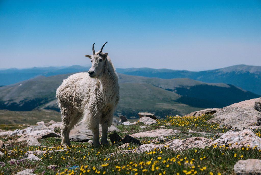 mountain goat south chilcotin